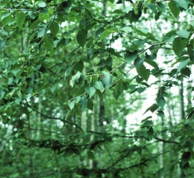 Betula alleghaniensis (Yellow Birch), leaf, summer