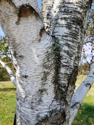 Betula 'Madison' (WHITE SATIN™ Birch), bark, mature