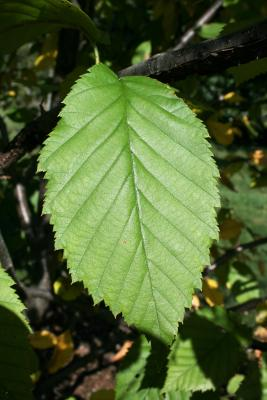 Betula alleghaniensis (Yellow Birch), leaf, upper surface