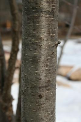 Betula alleghaniensis (Yellow Birch), bark, branch