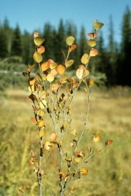 Betula glandulosa (Western Bog Birch), leaf, fall, fruit, mature, habit