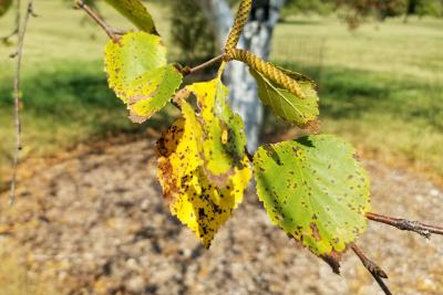 Betula 'Madison' (WHITE SATIN™ Birch), leaf, fall