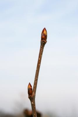 Betula alleghaniensis (Yellow Birch), bud, terminal