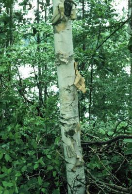 Betula papyrifera (Paper Birch), bark, mature