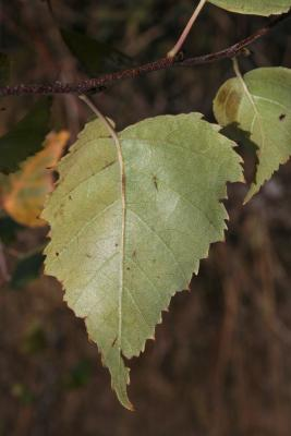 Betula papyrifera (Paper Birch), leaf, lower surface