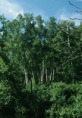 Betula papyrifera (Paper Birch), habit, summer