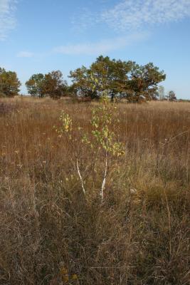 Betula papyrifera (Paper Birch), habitat