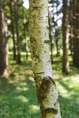 Betula pendula (European White Birch), bark, mature