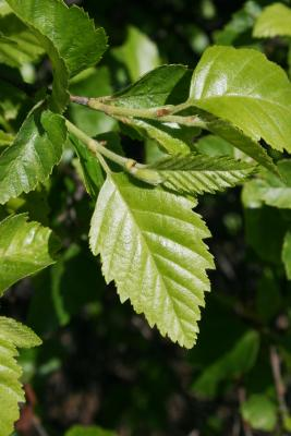 Betula nigra 'Little King' (FOX VALLEY® River Birch), leaf, upper surface