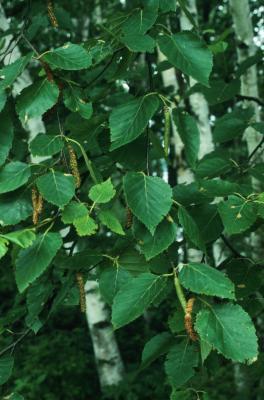 Betula papyrifera (Paper Birch), leaf, summer