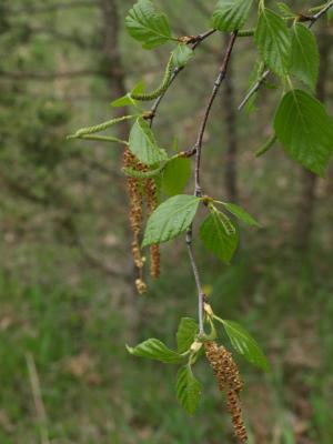 Betula papyrifera (Paper Birch), flower, staminate, flower, pistillate
