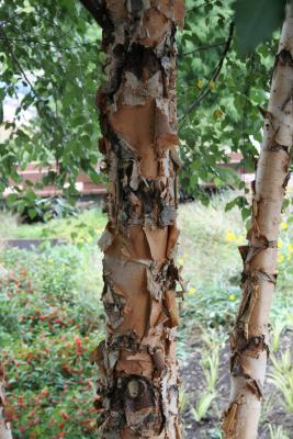 Betula nigra (River Birch), bark, mature