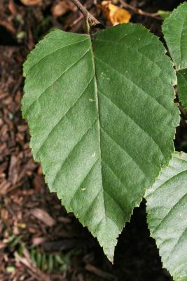 Betula papyrifera (Paper Birch), leaf, upper surface