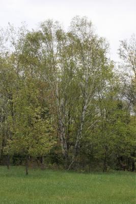 Betula papyrifera (Paper Birch), habit, spring