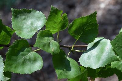 Betula pendula (European White Birch), leaf, summer