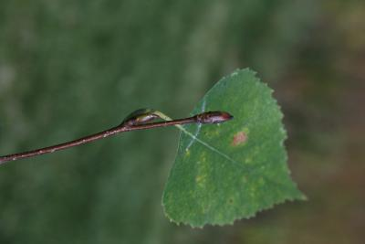 Betula pendula (European White Birch), bud, terminal