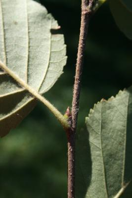 Betula papyrifera (Paper Birch), bud, lateral