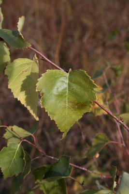 Betula papyrifera (Paper Birch), leaf, fall