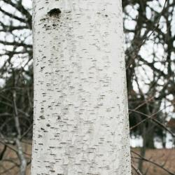 Betula populifolia (Gray Birch), bark, mature