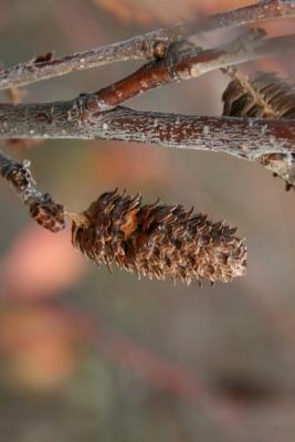 Betula pumila (Bog Birch), fruit, mature
