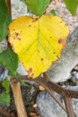 Betula populifolia 'Whitespire' (Whitespire Gray Birch), leaf, fall