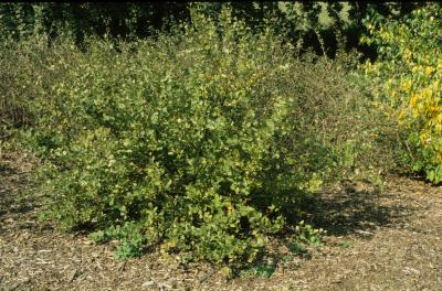 Betula pumila (Bog Birch), habit, summer