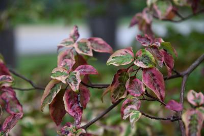 Cornus alternifolia 'W. Stackman' (GOLDEN SHADOWS® Pagoda Dogwood PP11287), leaf, fall