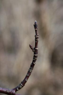 Cornus alternifolia (Pagoda Dogwood), bud, terminal