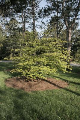 Cornus alternifolia 'W. Stackman' (GOLDEN SHADOWS® Pagoda Dogwood PP11287), habit, spring