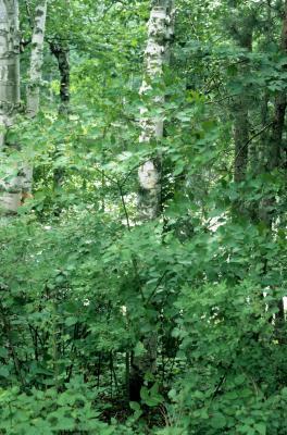 Cornus alternifolia (Pagoda Dogwood), habit, summer
