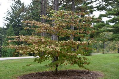 Cornus alternifolia 'W. Stackman' (GOLDEN SHADOWS® Pagoda Dogwood PP11287), habit, fall