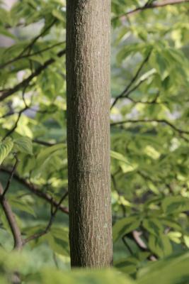 Cornus alternifolia 'W. Stackman' (GOLDEN SHADOWS® Pagoda Dogwood PP11287), bark, trunk