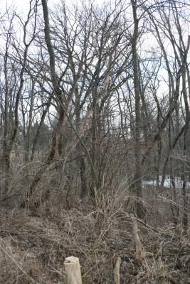 Cornus alternifolia (Pagoda Dogwood), habit, winter