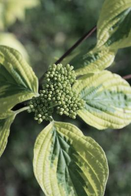Cornus alternifolia 'W. Stackman' (GOLDEN SHADOWS® Pagoda Dogwood PP11287), bud, flower