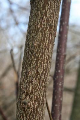 Cornus alternifolia (Pagoda Dogwood), bark, branch