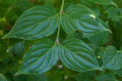 Cornus mas 'Golden Glory' (Golden Glory Cornelian-cherry Dogwood), leaf, summer