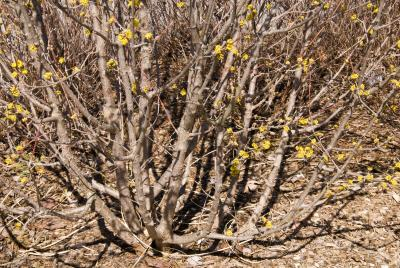 Cornus mas 'Golden Glory' (Golden Glory Cornelian-cherry Dogwood), bark, trunk
