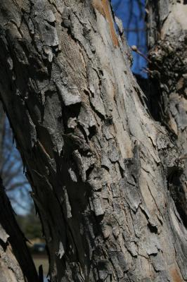Cornus mas (Cornelian-cherry Dogwood), bark, trunk