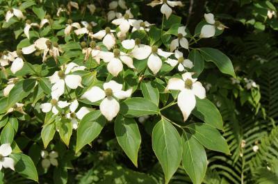 Cornus kousa (Kousa Dogwood), habit, summer
