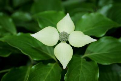 Cornus kousa subsp. chinensis (Chinese Kousa Dogwood), flower, full
