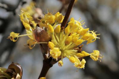 Cornus mas (Cornelian-cherry Dogwood), flower, full