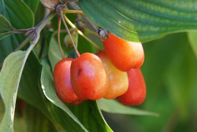 Cornus mas (Cornelian-cherry Dogwood), fruit, immature