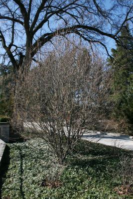 Cornus mas 'Golden Glory' (Golden Glory Cornelian-cherry Dogwood), habit, spring