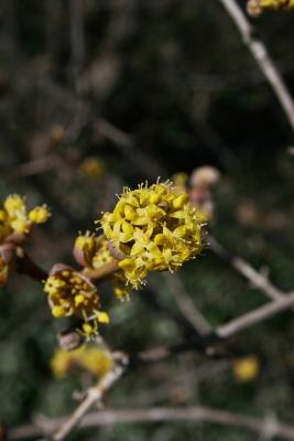 Cornus mas 'Golden Glory' (Golden Glory Cornelian-cherry Dogwood), inflorescence