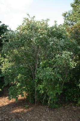 Cornus racemosa (Gray Dogwood), habit, summer