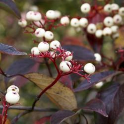 Cornus racemosa (Gray Dogwood), fruit, mature