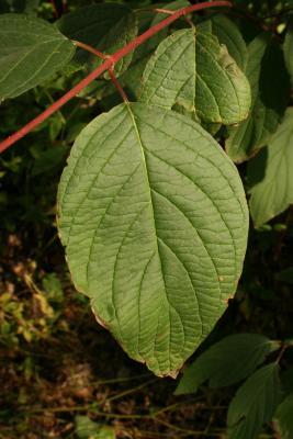 Cornus sericea subsp. sericea (Red-osier Dogwood), leaf, upper surface