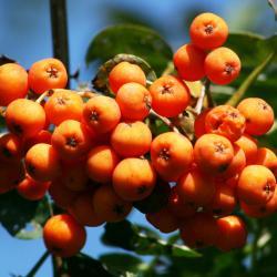 Sorbus aucuparia (European Mountain-ash), fruit, mature