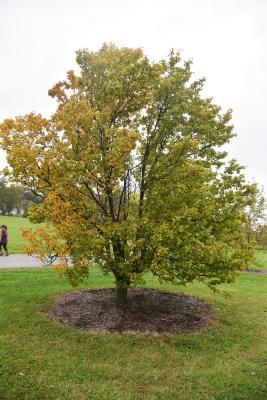 Sorbus alnifolia (Korean Mountain-ash), habit, fall
