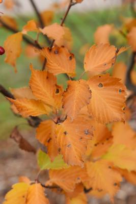 Sorbus alnifolia (Korean Mountain-ash), leaf, fall